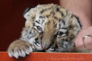 Tigerdame Tscuna