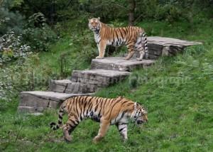 2 männliche Amurtiger, Tigertal im Zoo Wuppertal