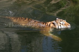 Anders als oftmals behauptet ist der Amurtiger nicht wasserscheu, er ist sogar ein guter Schwimmer. In den warmen Sommermonaten suchen Amurtiger oftmals das Wasser von Flüssen und Seen zum Abkühlen auf.